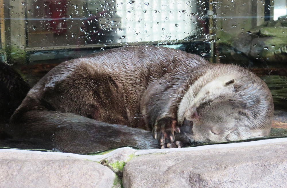Napping otter SUCKLING ITS TAIL.