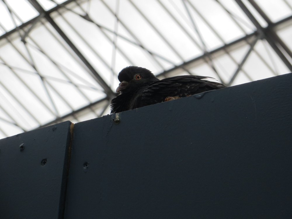 Train station pigeon, London