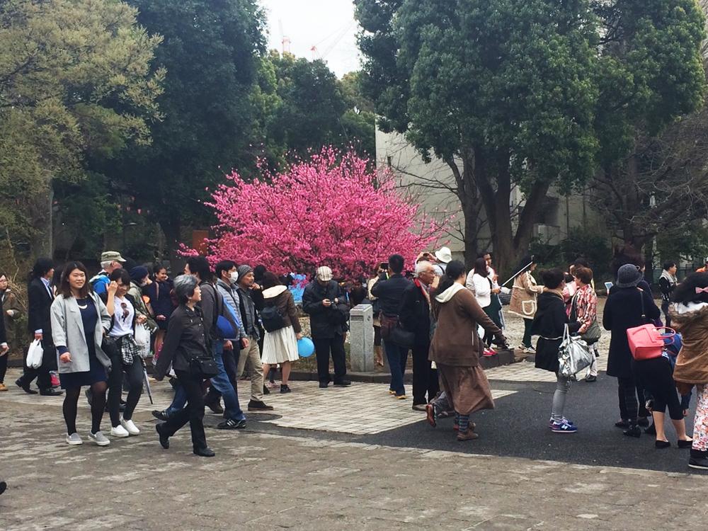 Selfie-ridden red bud tree in Tokyo's Ueno Park