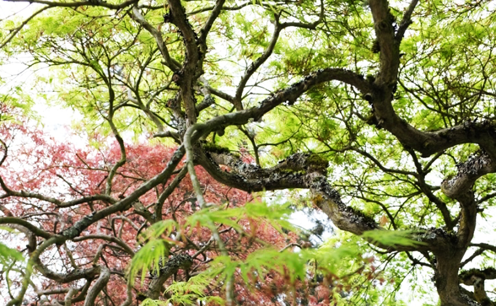 Japanese Maples in Ravenna in Seattle