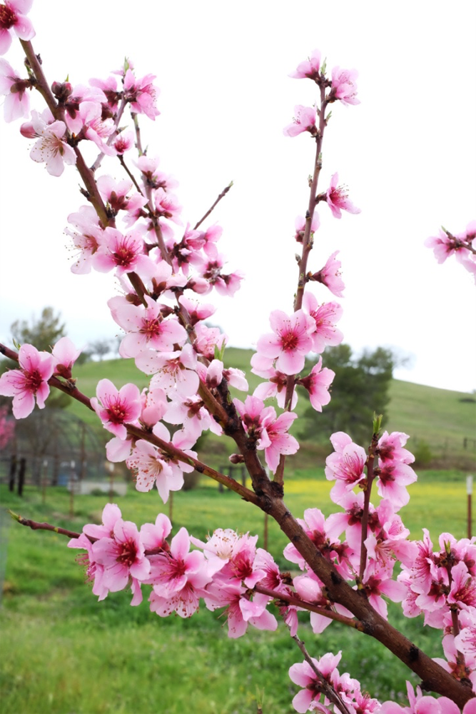 Young plum blossoms at a farm in Santa Margarita, California