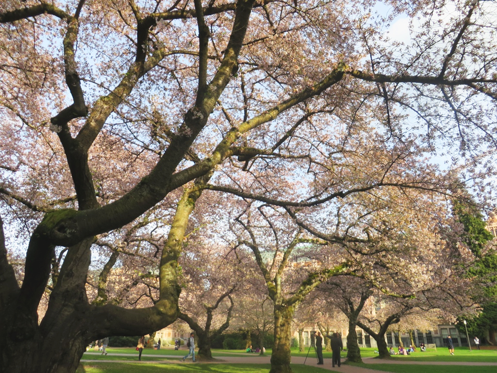 University of Washington quad and blooming cherry blossom trees