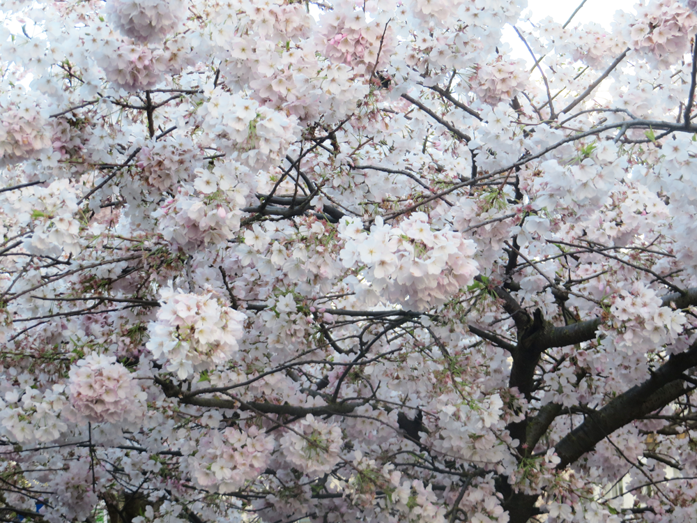 Looking up into a blossoming tree in Fremont
