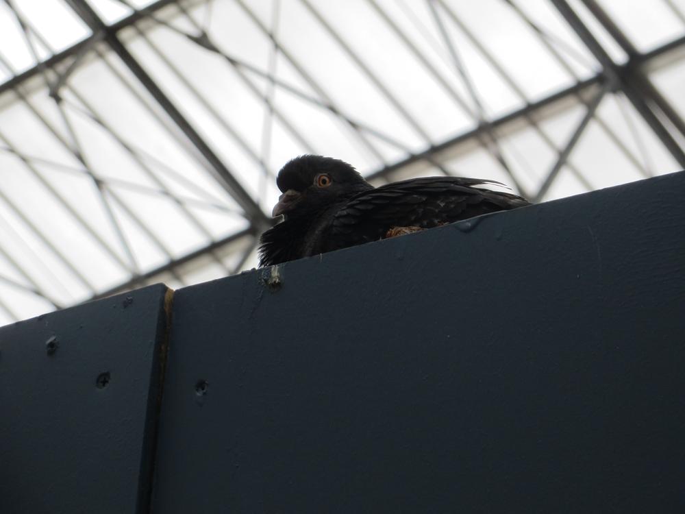 Train station pigeon, London