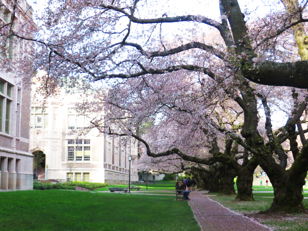 Cherry blossoms and a path on the University of Washington campus