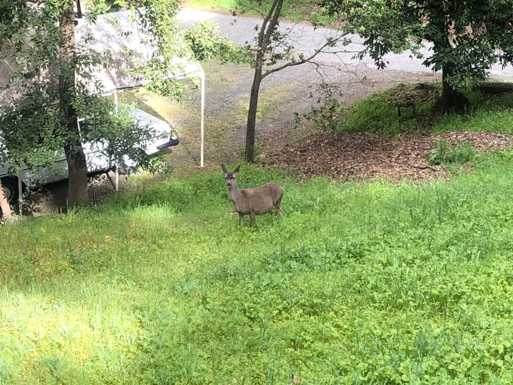 a deer looking at the camera on a grassy hillside