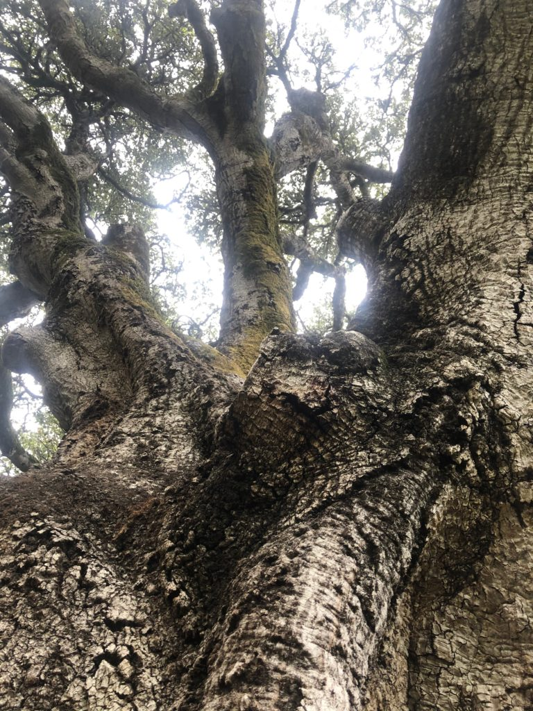 looking up the trunk of an old, gnarled tree