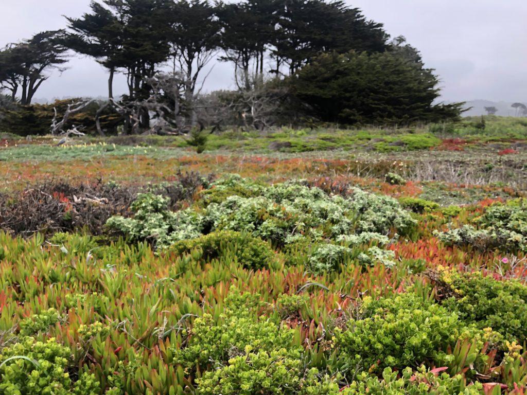 brightly colored coastal plants above Half Moon Bay Beach's shore