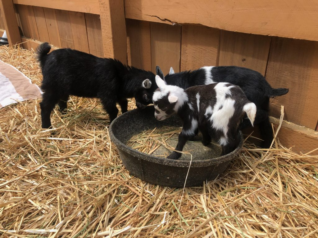 three tiny black and white goats on hay next to a fence